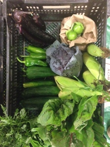 A typical share: 1 bunch of red chard, 6 corn, 1 bag of tomatillo, 1 red cabbage, 6 Japanese eggplant, 5 pimiento, 6 cucumber, Chrysanthemum greens, 1 romaine lettuce. All for only $25!!!